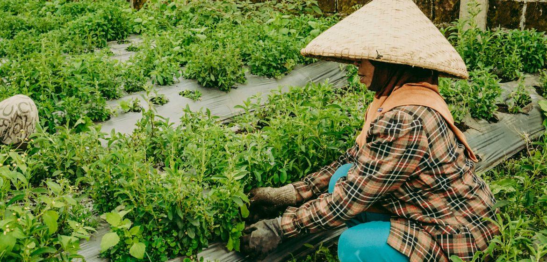 petani tumbuhan stevia gula alami agro jabar