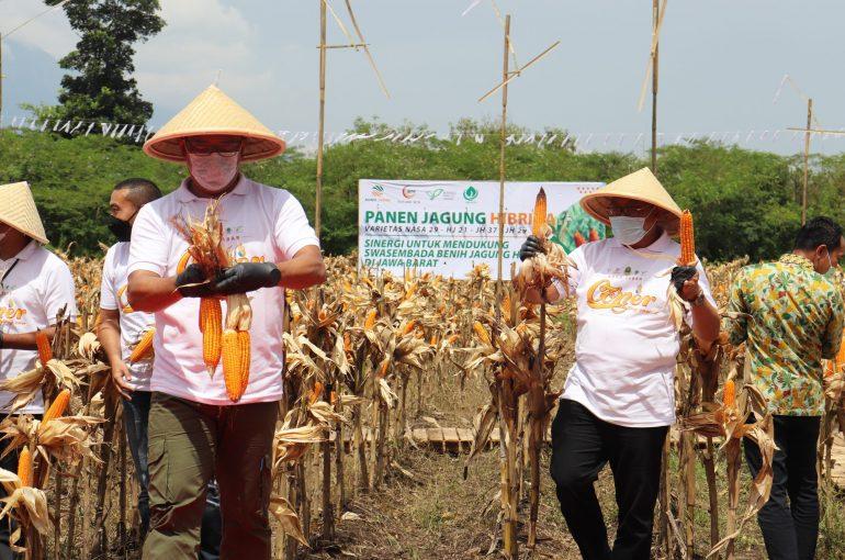 Panen Ribuan Ton Jagung, Agro Jabar Menjadi Pionir Bisnis Pangan di Jabar